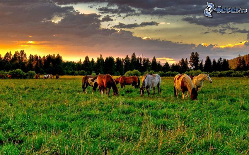 cavalli, prato, l'erba, nuvole, serata all'alba