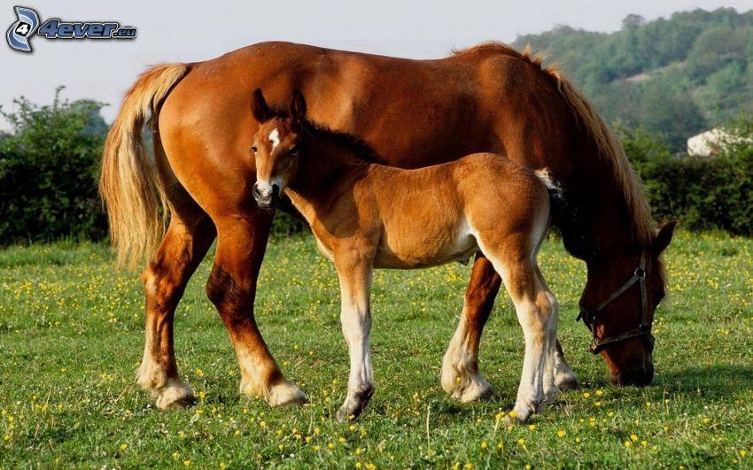 cavalli, puledro, prato