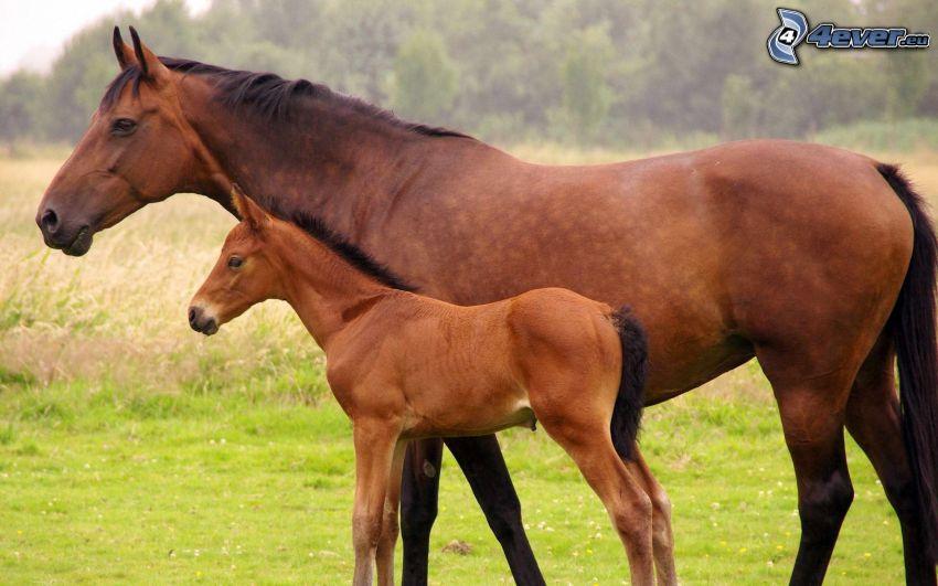 cavalli, puledro