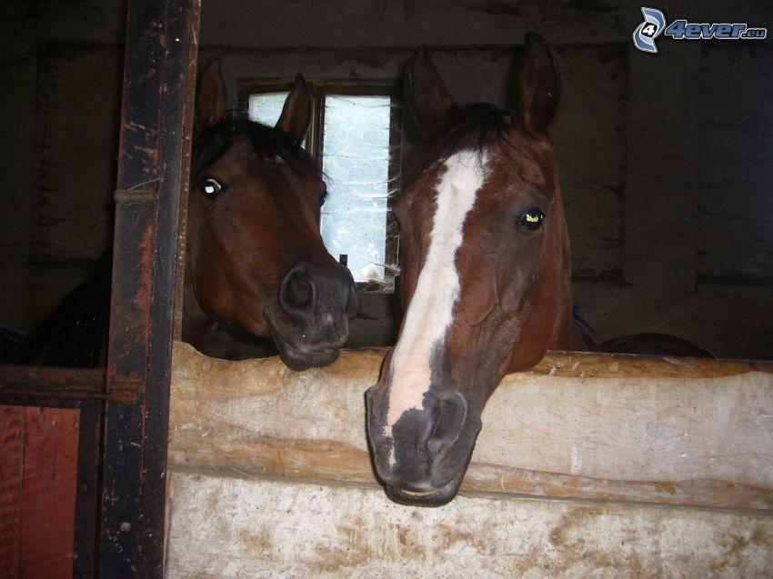 cavalli, scuderia