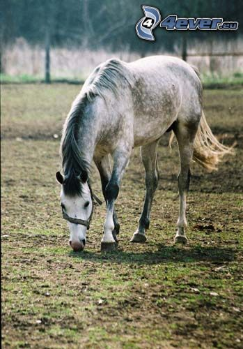 cavallo, animale