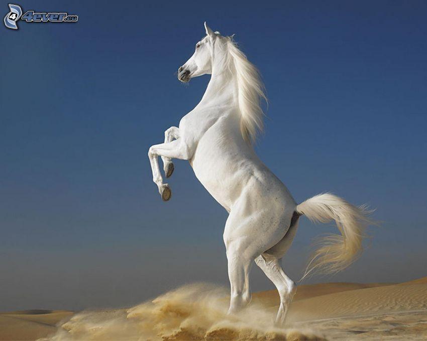 cavallo bianco, deserto