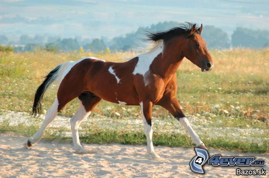 cavallo in corsa, canter, natura
