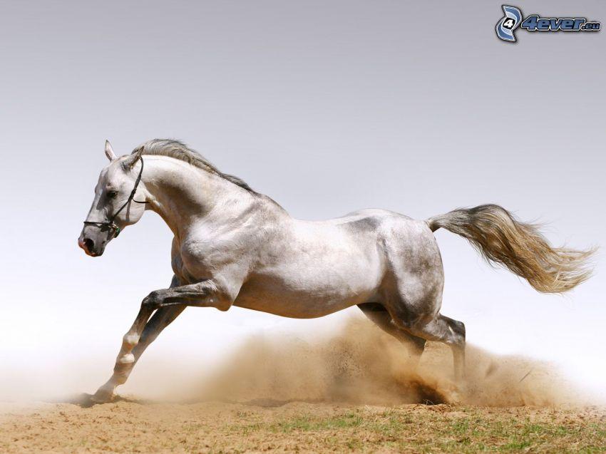 cavallo in corsa, cavallo bianco, sabbia