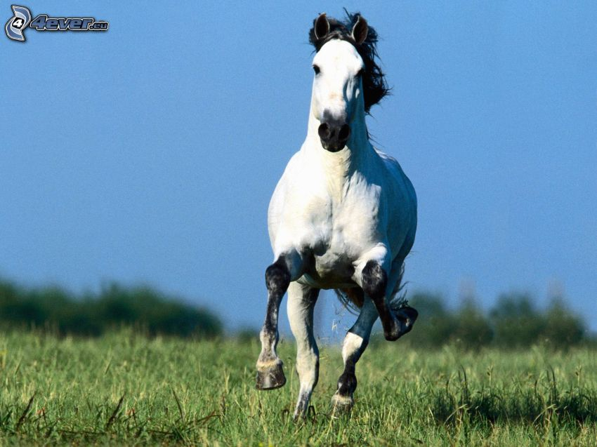 cavallo in corsa, cavallo bianco