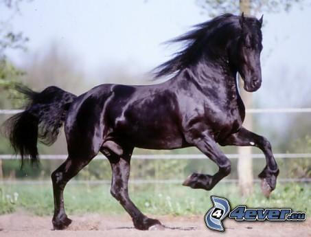 cavallo in corsa, cavallo nero