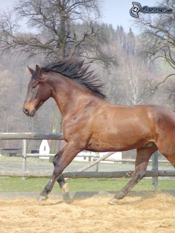 cavallo in corsa, il cavallo nel recinto, sabbia, criniera