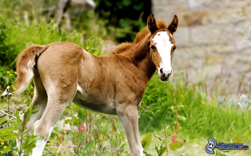 cavallo marrone