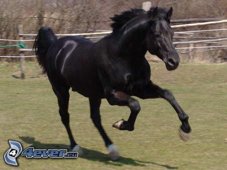 cavallo nero, cavallo in corsa, stallone, canter