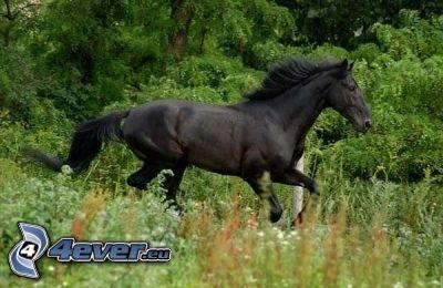 cavallo nero, prato, l'erba, verde