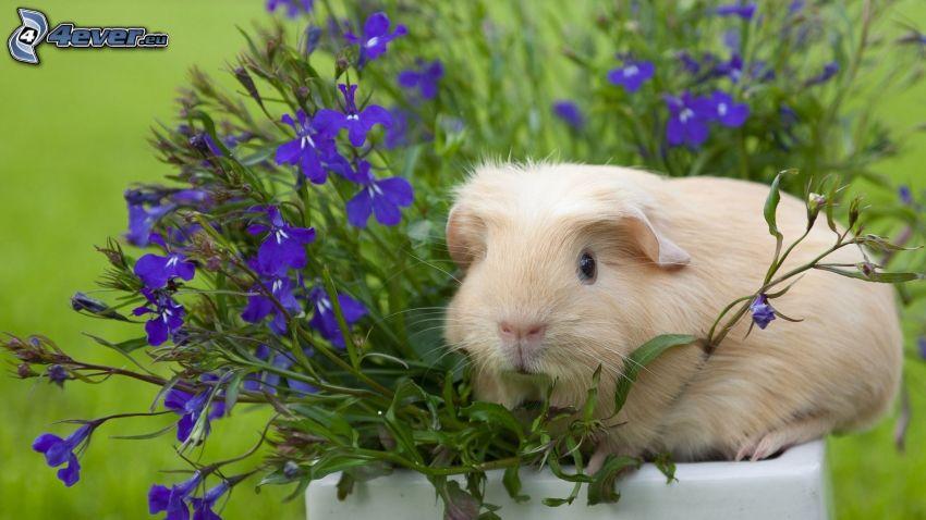 cavia, fiori viola