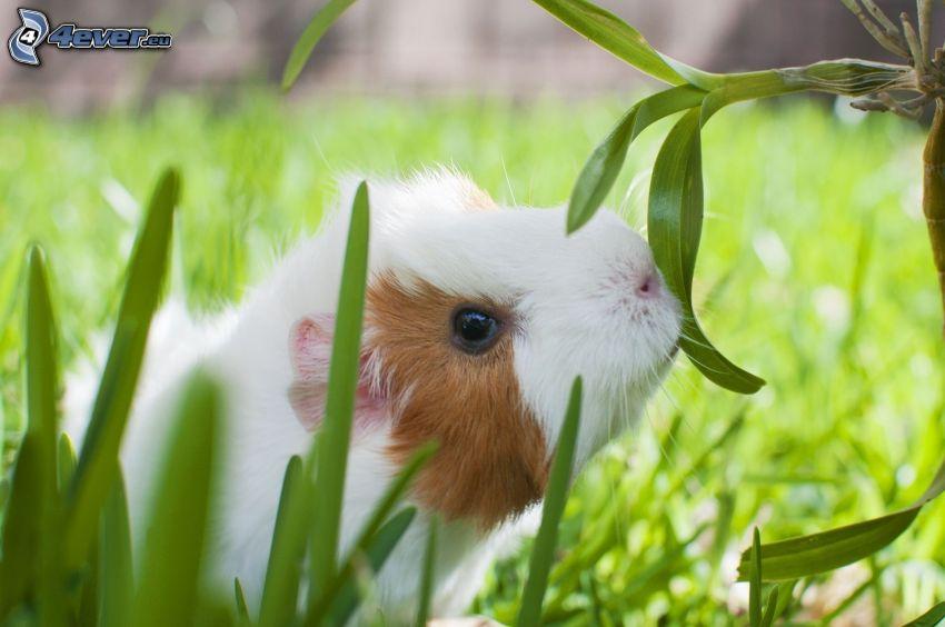 cavia, l'erba
