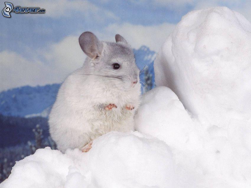 chinchilla, neve