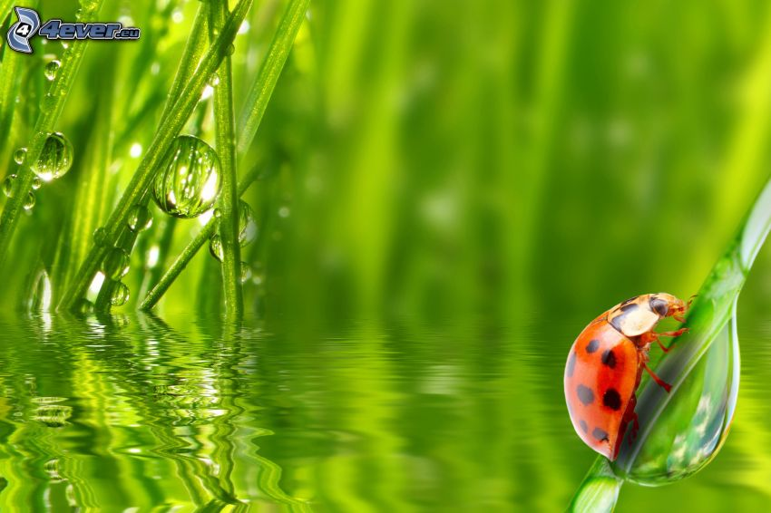 coccinella su una foglia, l'erba, gocce d'acqua, acqua