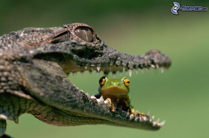 coccodrillo, rana