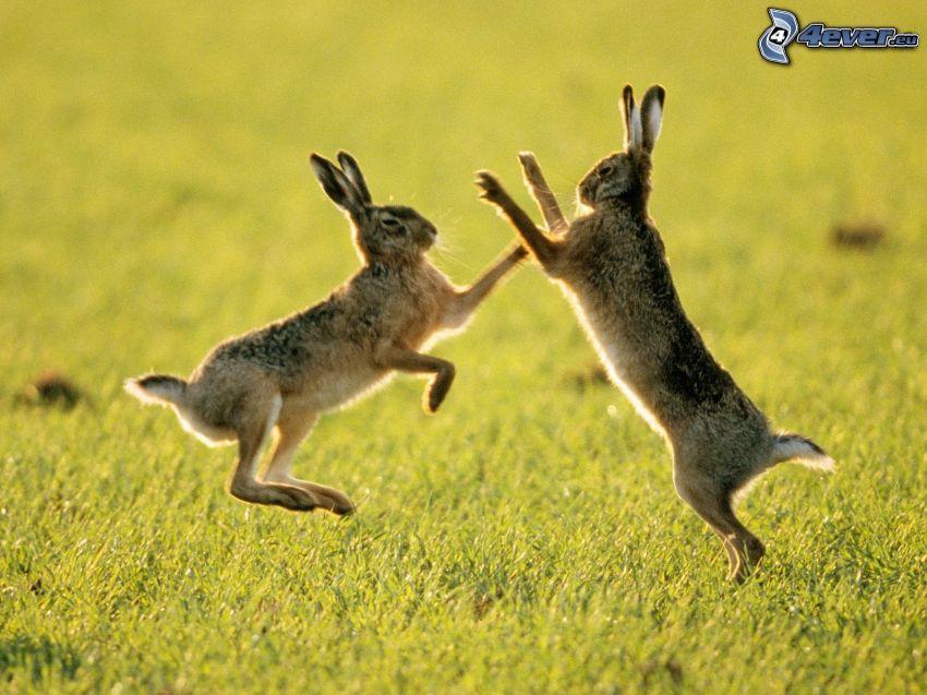 conigli, lotta, prato
