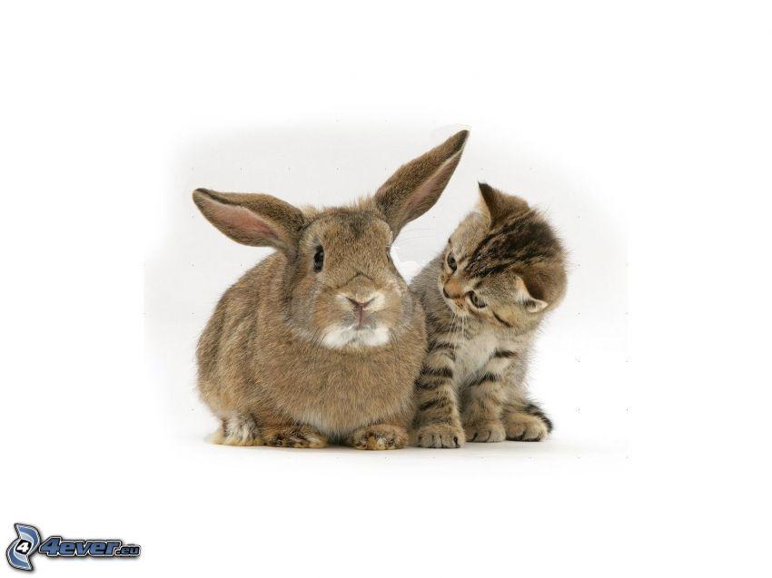 coniglio, gattino