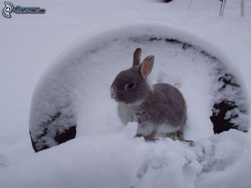 coniglio, neve