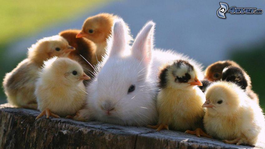 coniglio, pulcini