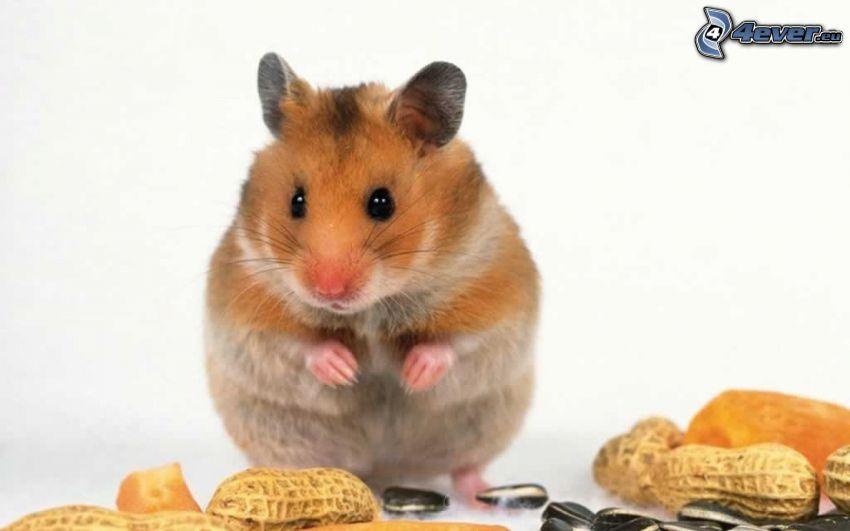 criceto, arachidi, semi di girasole