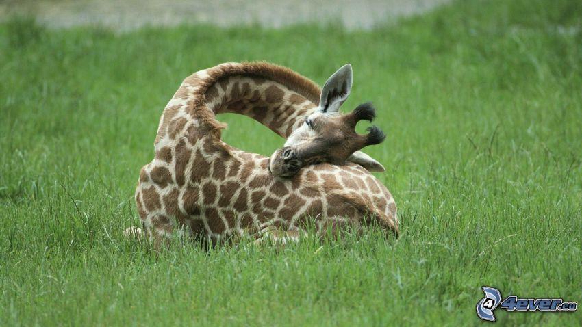 figliolino di giraffa, l'erba