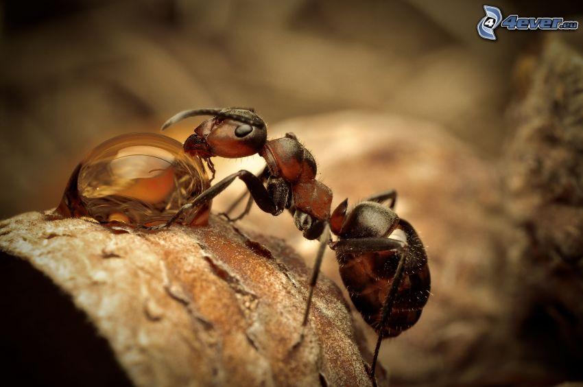 formica, goccia