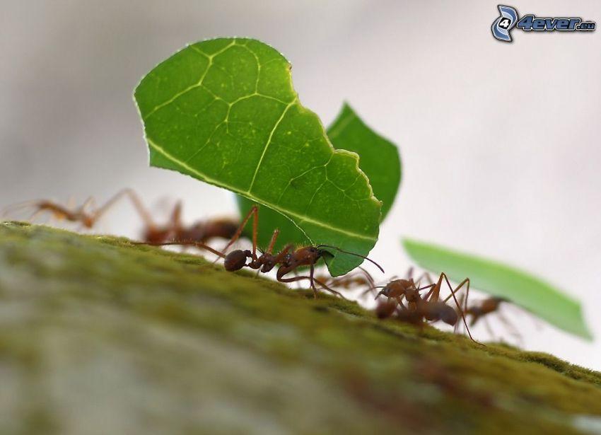 formiche, foglia