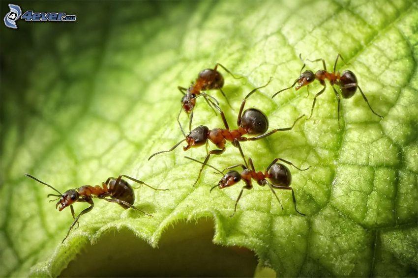 formiche, foglia verde