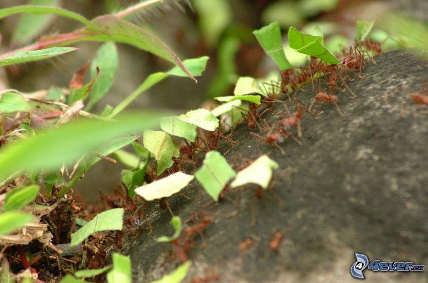formiche, foglie