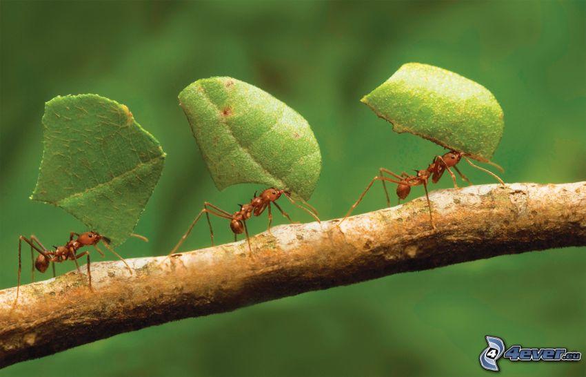 formiche, foglie verdi, ramo