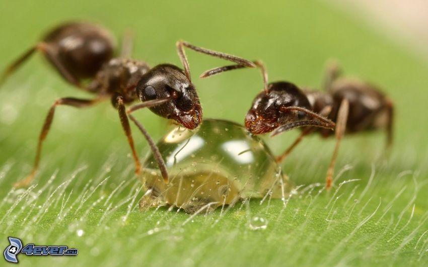 formiche, goccia d'acqua, macro