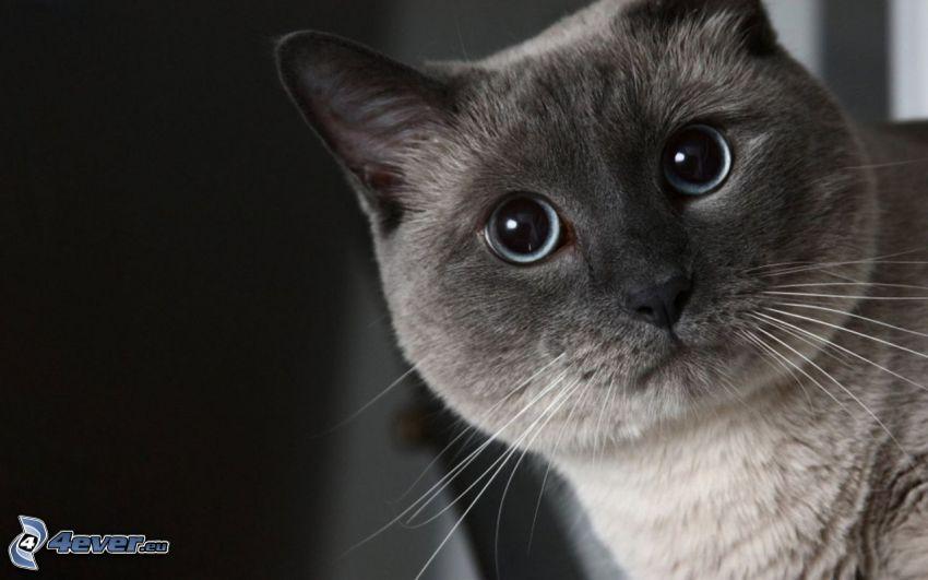 british shorthair, faccia di gatto