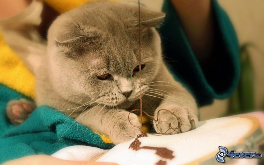 british shorthair, fili