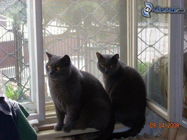 british shorthair, gatti, finestra