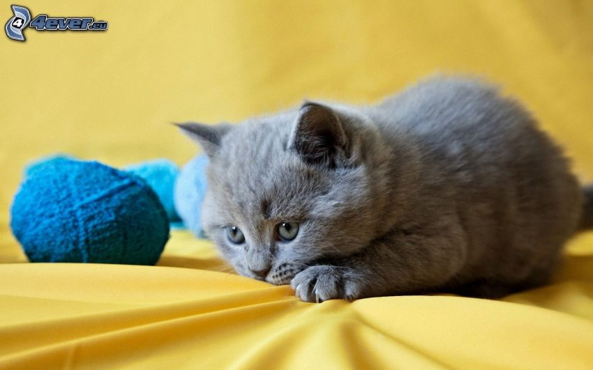 british shorthair, gomitolo