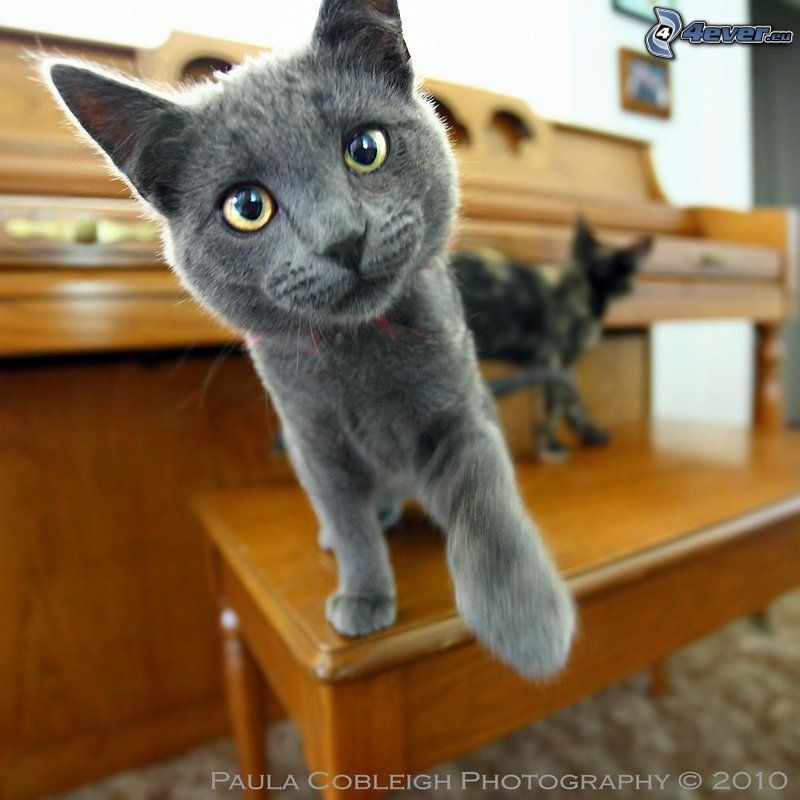 british shorthair, piano