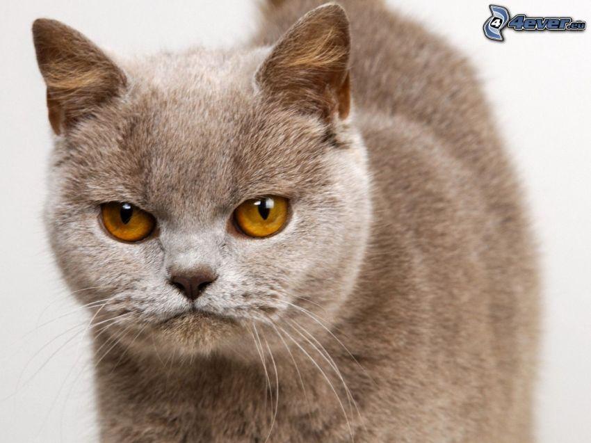 british shorthair, sguardo di gatta