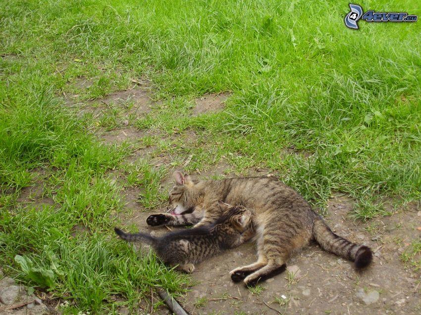 gatta e gattino, l'erba