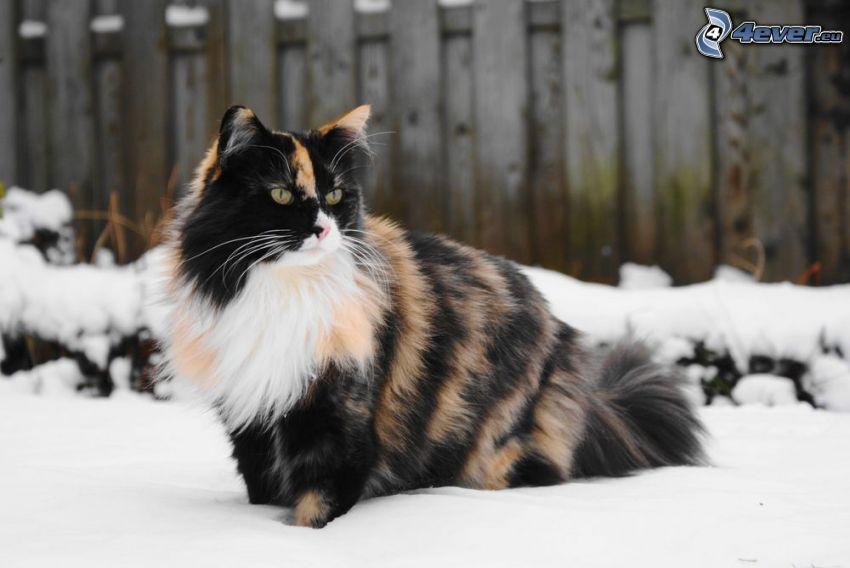 gatta pezzata, gatto peloso, neve