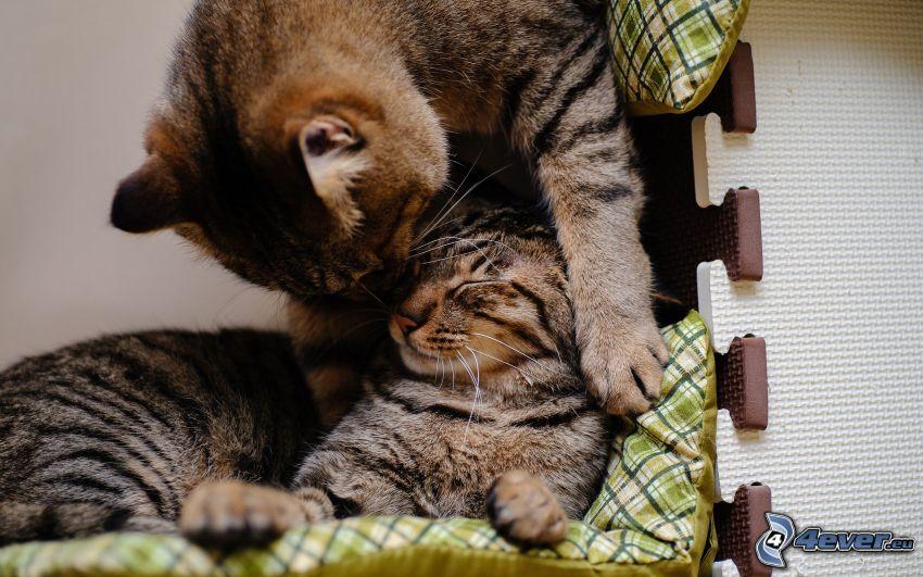 gatti, bacio