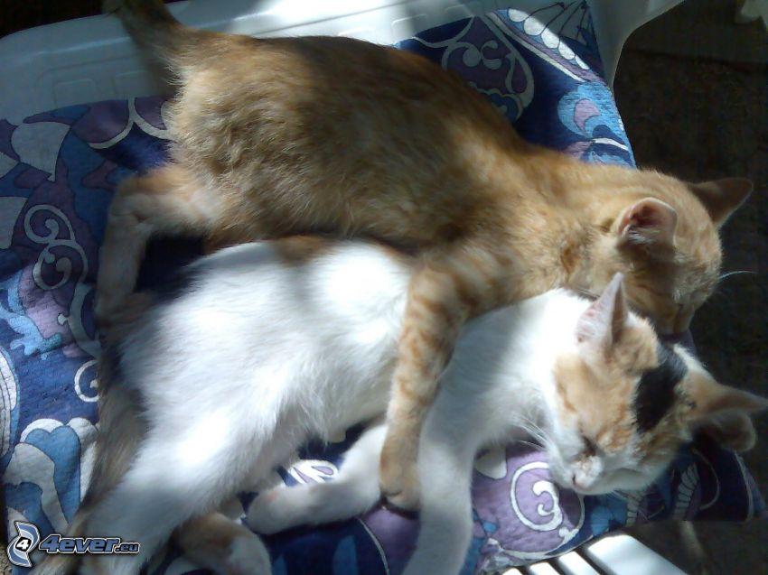 gatti, coperta
