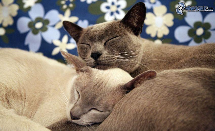 gatti addormentati, british shorthair