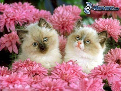 gattini, gatto siamese, fiori rossi