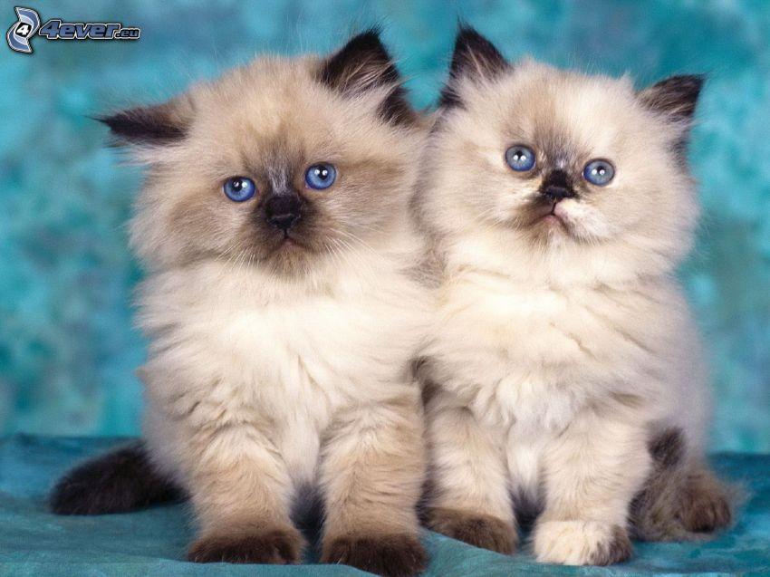 gattini, gatto siamese