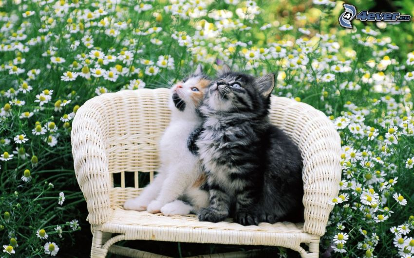 gattini, sedia, fiori