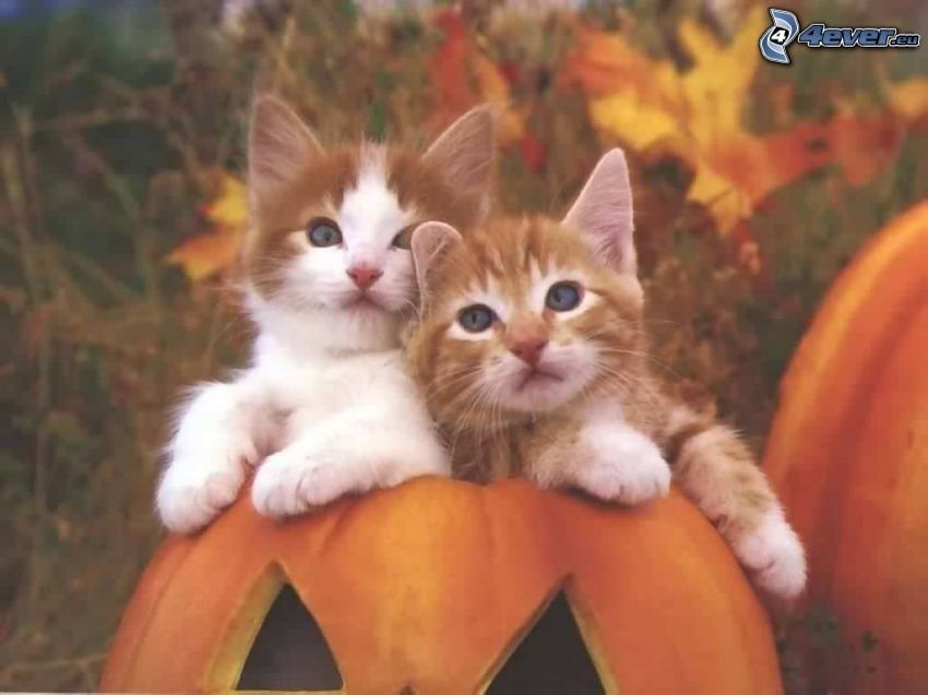 gattini, zucca, Halloween