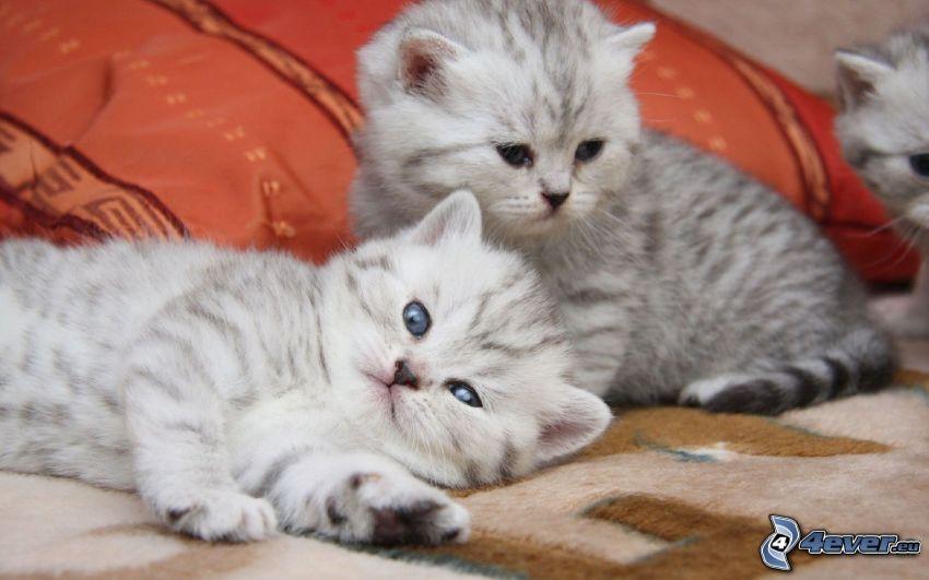 gattini bianchi