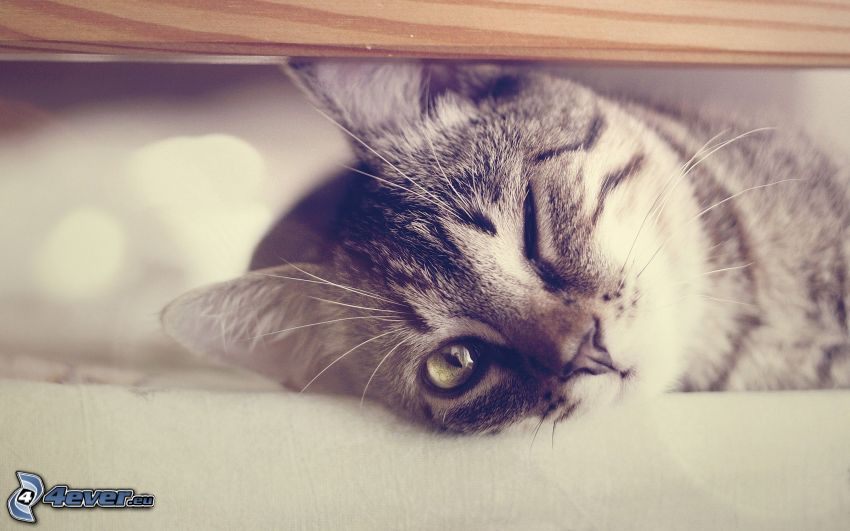 gattino, ammiccare