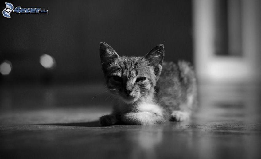 gattino, bianco e nero