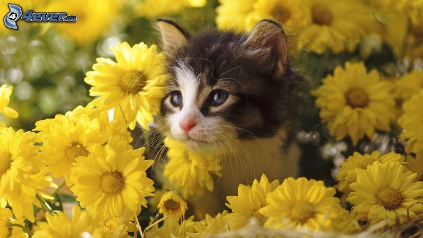 gattino, fiori gialli